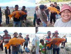 Viral Ikan Mas Raksasa Danau Toba Minta Dilepas, Ini Kata yang Posting