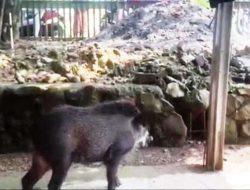 Babi Hutan Ngamuk Bikin Warga Sekampung Panik